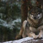 Winter Wolf im Wildpark Schwarze Berge
