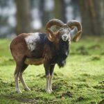 Mufflonbock im Wildpark Schwarze Berge