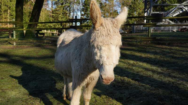 Barock-Esel Gloria im Wildpark Schwarze Berge