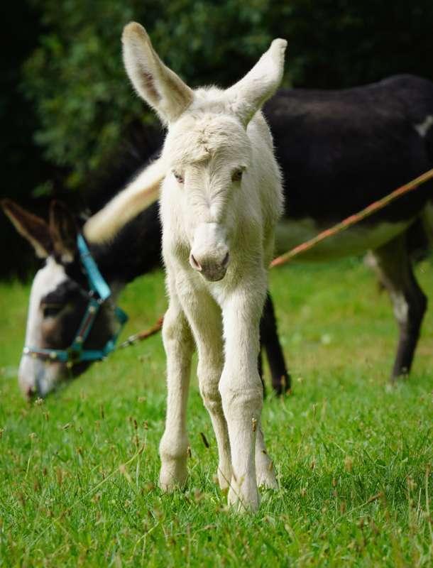 Barock-Eselfohlen Feli bald mit auf Esel-to-go Tour