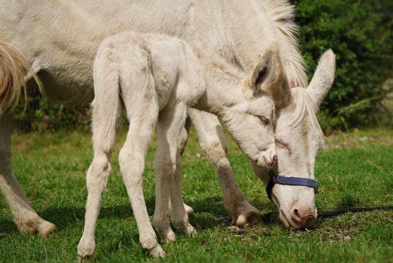 Barock-Eselfohlen Feli kuschelt mit Mama Gloria