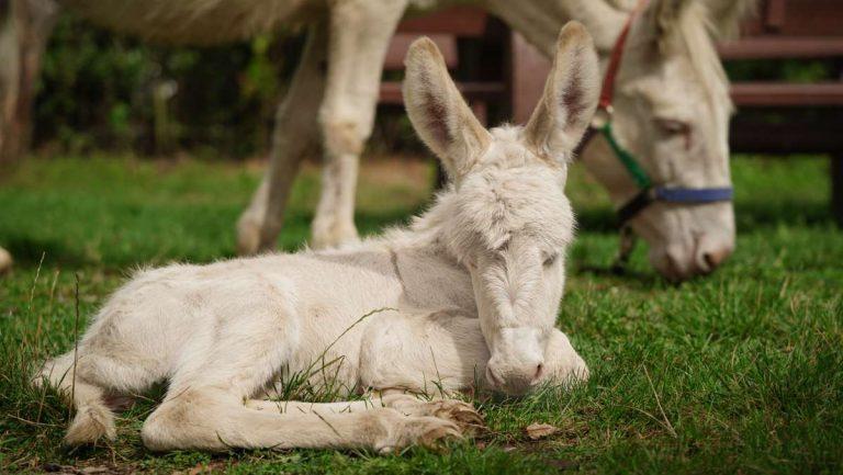 Barock-Eselfohlen Feli ist müde