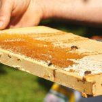 Bienenwabe, Tag der Biene, Honig, Biene, Hände, Wabe, Wildpark Schwarze Berge