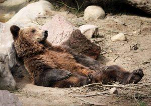 Braunbär schlafend, liegend im Wildpark Schwarze Berge