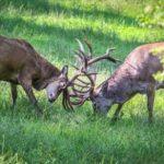 Hirsche bei der Brunft im Wildpark Schwarze Berge