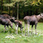 Elchfamilie im Wildpark Schwarze Berge