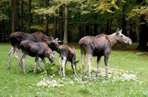 Elchfamilie grast auf einer grünen Wiese im Wildpark Schwarze Berge
