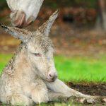 Frisch geborenes Barokesel Fohlen mit Mutter im Wildpark Schwarze Berge