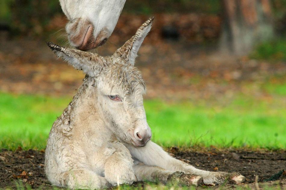 Frisch geborenes Barockesel-Fohlen mit Mutter im Wildpark Schwarze Berge