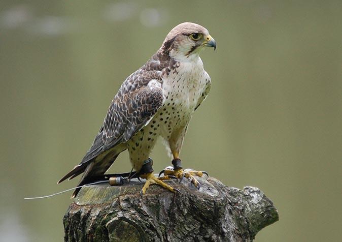 Falke sitzt auf Baumstumpf