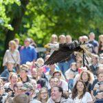 Weisskopfseeadler fliegt über die Zuschauer bei der Flugschau der Eventfalknerei im Wildpark-Schwarze-Berge