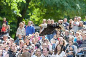 Weisskopfseeadler fliegt über die Zuschauer bei der Flugschau der Eventfalknerei im Wildpark Schwarze Berge