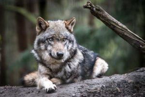 Liegender Wolf auf Baumstamm