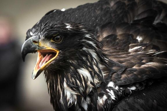 Greifvogel mit geöffnetem Schnabel