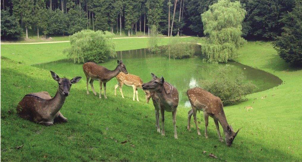 Damwild-Freigehege mit mehreren Tieren und dem See im Hintergrud