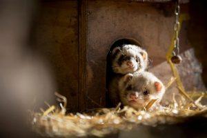 Zwei Frettchen stecken ihren Kopf aus ihrer Hütte heraus