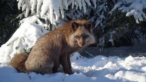 Fuchs im Schnee im Wildpark Schwarze Berge