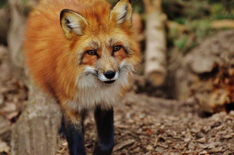 Fuchs im Wildpark Schwarze Berge