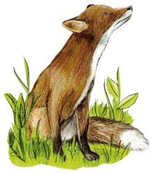 Fuchs gezeichnet schaut nach rechst im Wildpark Schwarze Berge