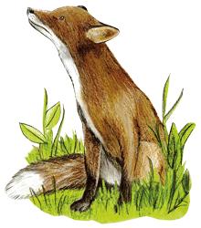 Fuchs guckt neugierig nach oben im Wildpark Schwarze Berge