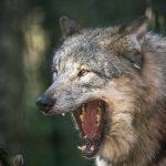 Futtertour zu Wolf und Co. im Wildpark Schwarze Berge