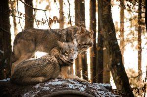 Futtertouren zum Wolf im Wildpark Schwarze Berge