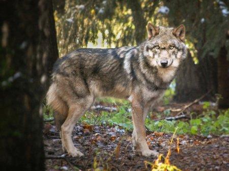 Futtertouren zum Wolfsrudel im Wildpark Schwarze Berge