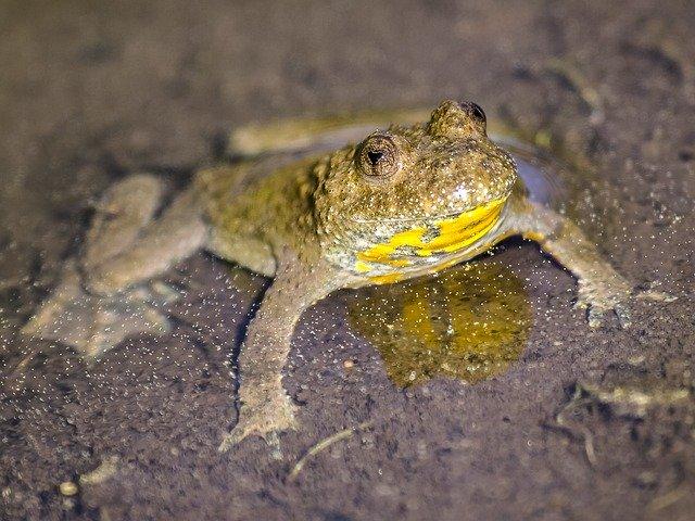 Gelbbauchunke im nassen Sand