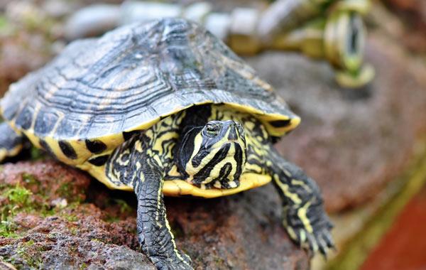 Gelbwangenschmuckschildkröte auf einem Stein