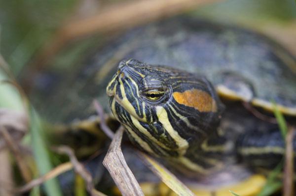 Gelbwangenschmuckschildkröte im Wasser