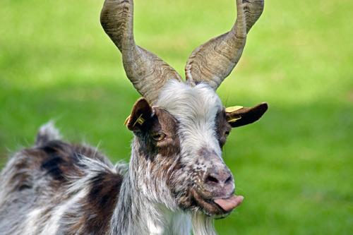 Girgentana-Ziege streckt die Zunge raus