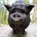 Hängebauchschwein mit großer Schnauze im Streichelgehege im Wildpark Schwarze Berge