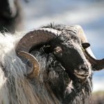 Nahaufnahme einer Heidschnucke im Wildpark Schwarze Berge