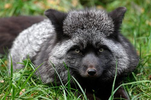 Silberfuchs liegt im Gras und schaut in die Kamera