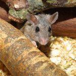 Maus guckt zwischen Holzscheiten heraus