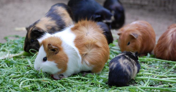 Meerschweinchen mit Nachwuchs frisst Gras