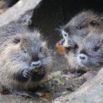 Nutria Mutter mit zwei Nutria Jungen beim Fressen im Wildpark Schwarze Berge