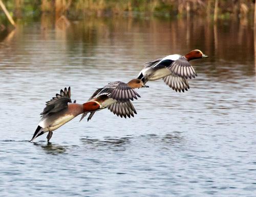 Pfeifenten fliegen vom Wasser auf