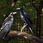 Zwei Raben sitzen auf einem Ast im Wildpark Schwarze Berge