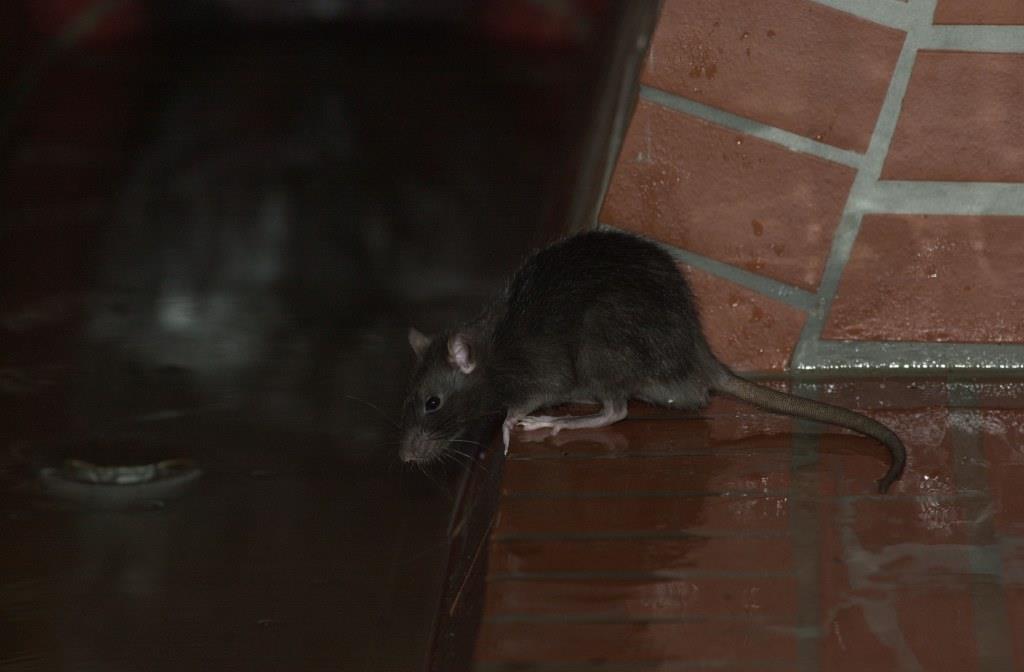 Ratte sitzt auf Ziegelstein am Rande des Wassers