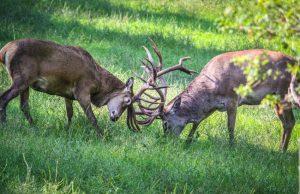 Rotwild kämpft während der Brunft im Wildpark Schwarze Berge
