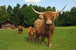 Schottisches Hochlandrind mit Kalb auf der Weide im Wildpark Schwarze Berge