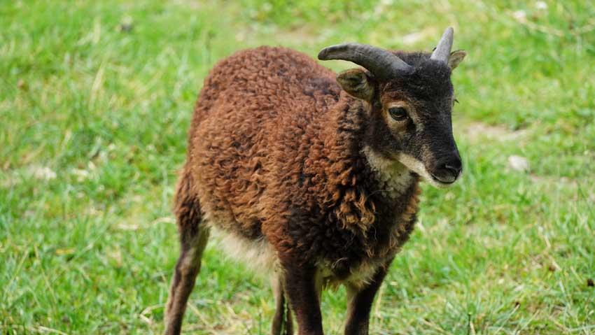 Soay-Schaf auf einer grünen Wiese