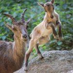 Steinbock Mutter mit Jungtier springend im Wildpark Schwarze Berge