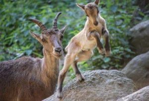 Steinbock-Mutter mit Jungtier springend im Wildpark Schwarze Berge