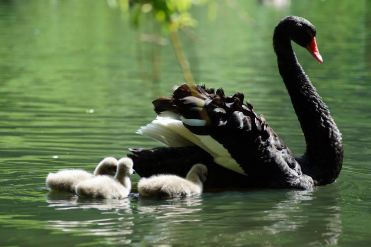 Trauerschwan mit Küken im Storchenteich