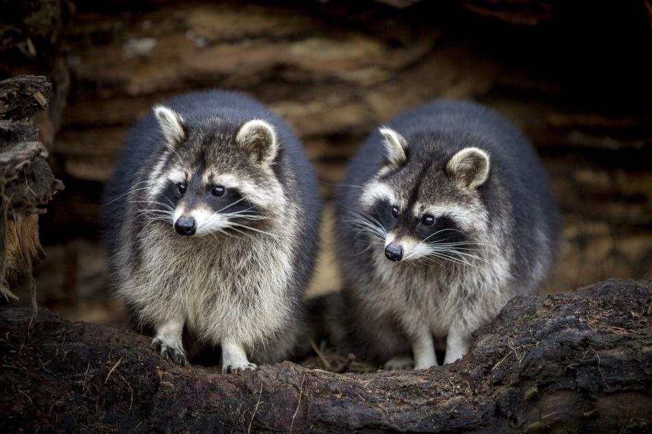 Petition Waschbär
