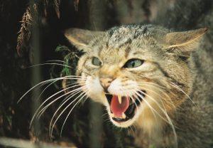 Fauchende Wildkatze im Wildpark Schwarze Berge