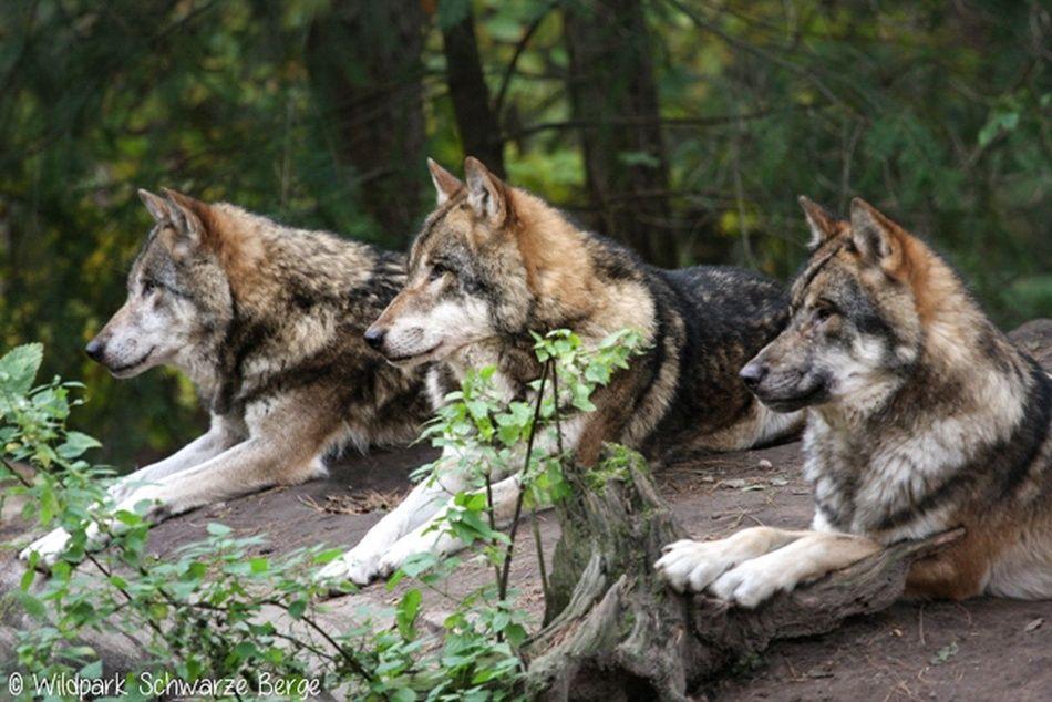 Drei Wölfe im Rudel im Wildpark Schwarze Berge