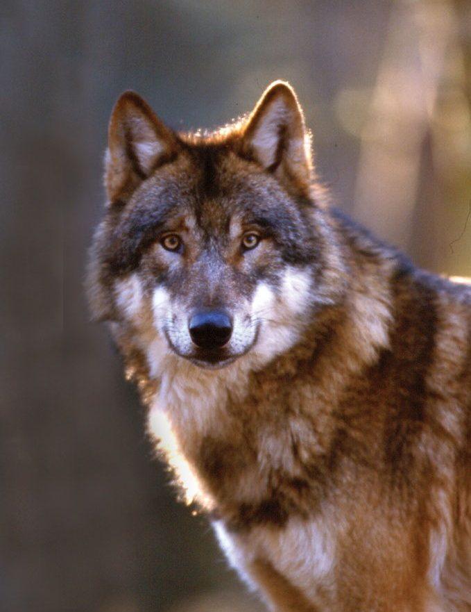 Wolf Portrait mit Blick in die Kamera im Wildpark Schwarze Berge